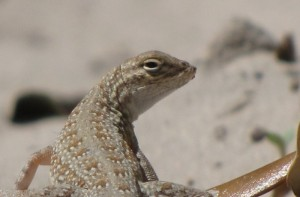 Lizards are Extremelly Beneficial in Garden