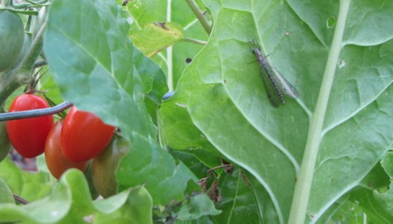 Lacewing hunting