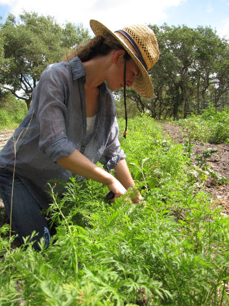 Companion Planting Peppers in Carrots