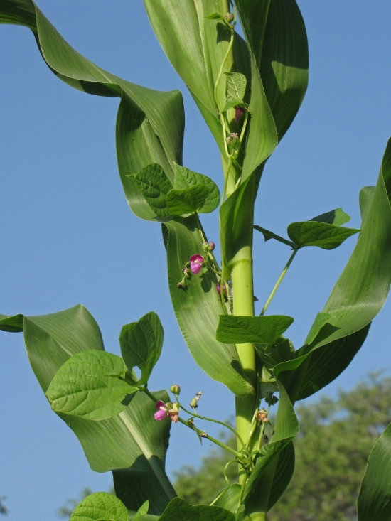 Purple Bean Flowers on a Corn Stalk Trellis