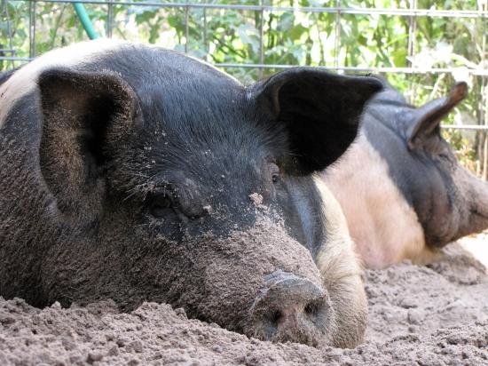 Heritage Breed Porkers