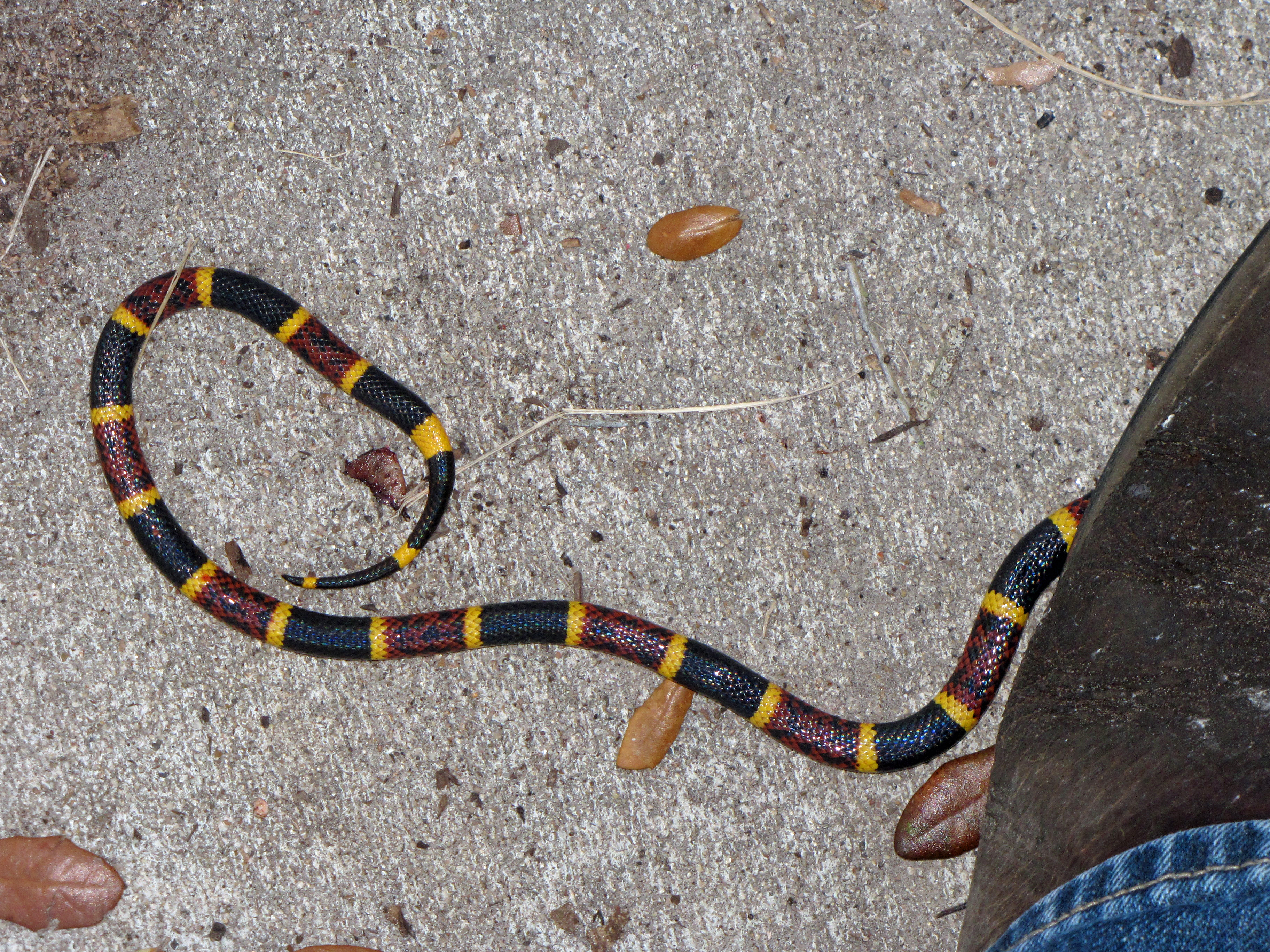 how to tell difference between black snake and king snake