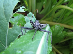 Giant Wheel Bug in Four String Garden, Excellent Beneficial Predator