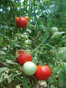 Early Girl Tomatoes Growing on Trellis of Hog Panel Fencing