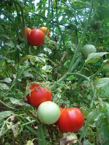 Early Girl Tomatoes Growing on Trellis of Hog Panel Fencing