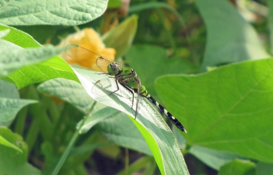 Dragonfly Hunting in Garden, a Voracious Beneficial Predator