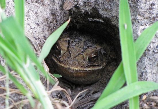 Frog Nest in Garden under a Squash Leaf