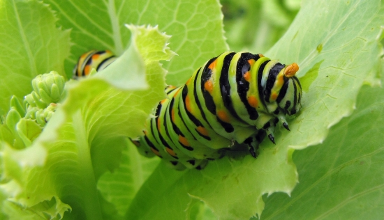 Caterpillar, Four String Farm