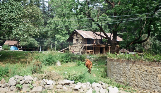Cow Walking to Himalayan Two-Level House