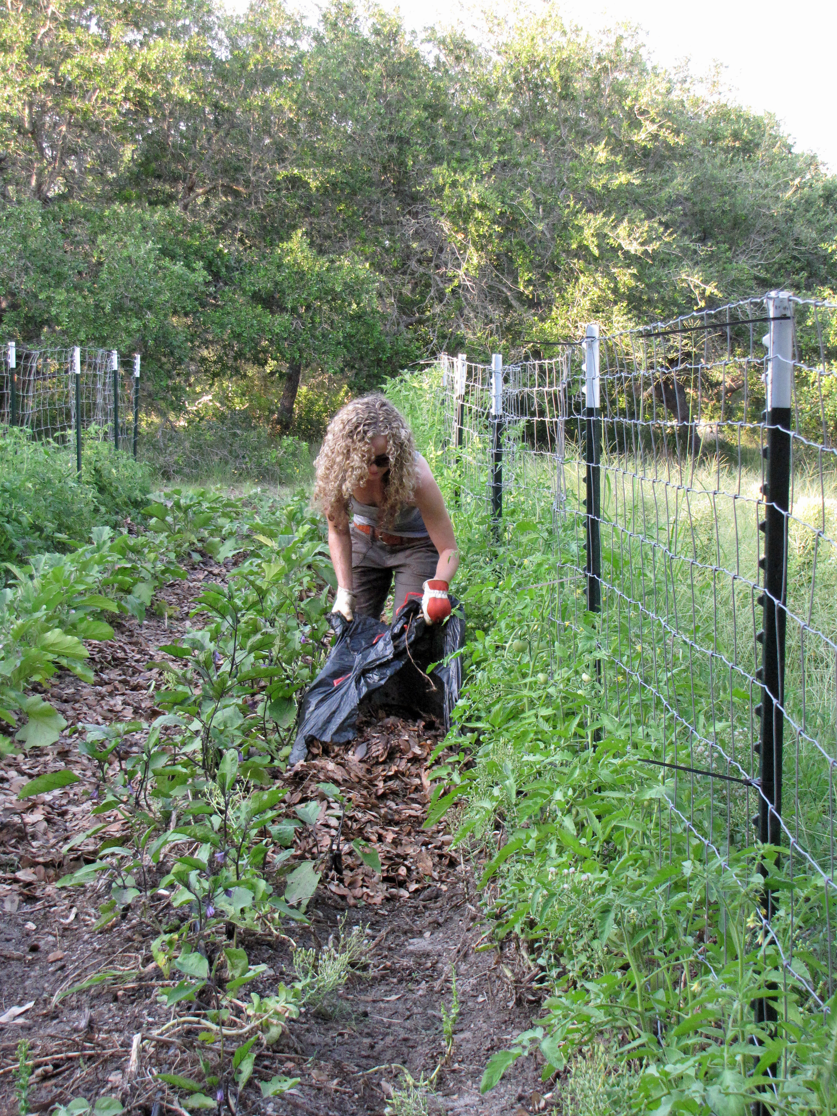 Native Leaf Mulch for Tomatoes Four String Farm