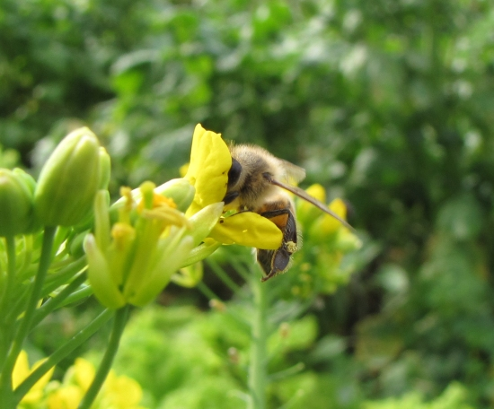 Bee with Head in Broccoli Flower