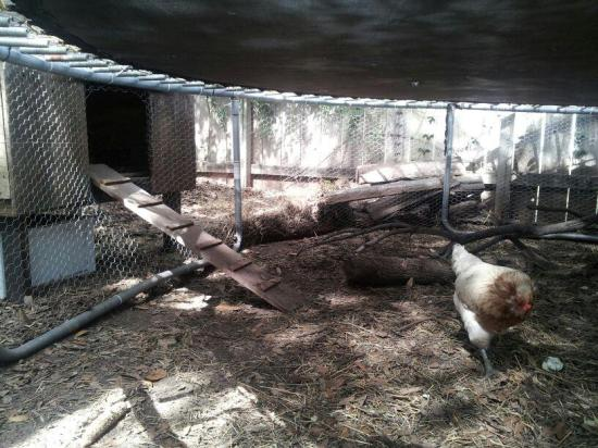 Chickens under a Trampoline with a Ladder to Nest Box