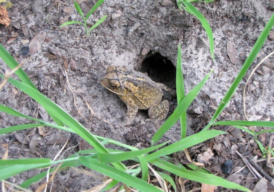 Toad Going out at Dusk to Hunt.  Toads Eat up to 1,000 Bugs Every Night!