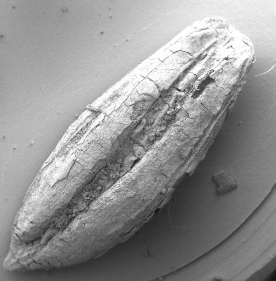 An Ancient Wild Barley Sample (photo courtesy TISARP and NPR)
