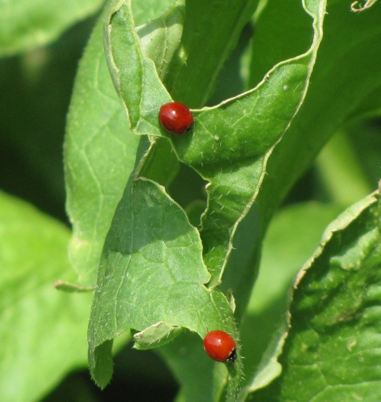 Lady Bugs on Pest-Damaged Leaf