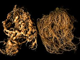 Nematode Damage on Left, Normal on Right (photo courtesy Univ of Maryland)