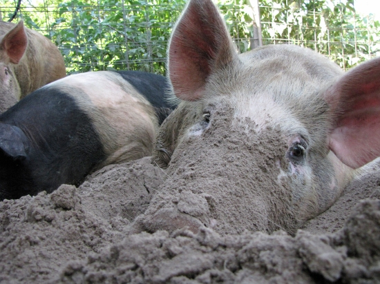 Porkers Deeply Till the Soil