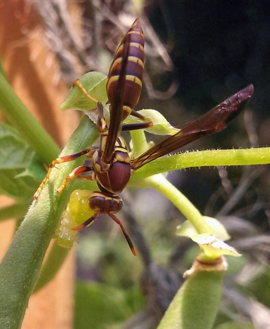 Wasp Killing Caterpillar and Turning it into Liquefied Balls to Stuff in Nest (photo courtesy of Chelsie Vorachek)