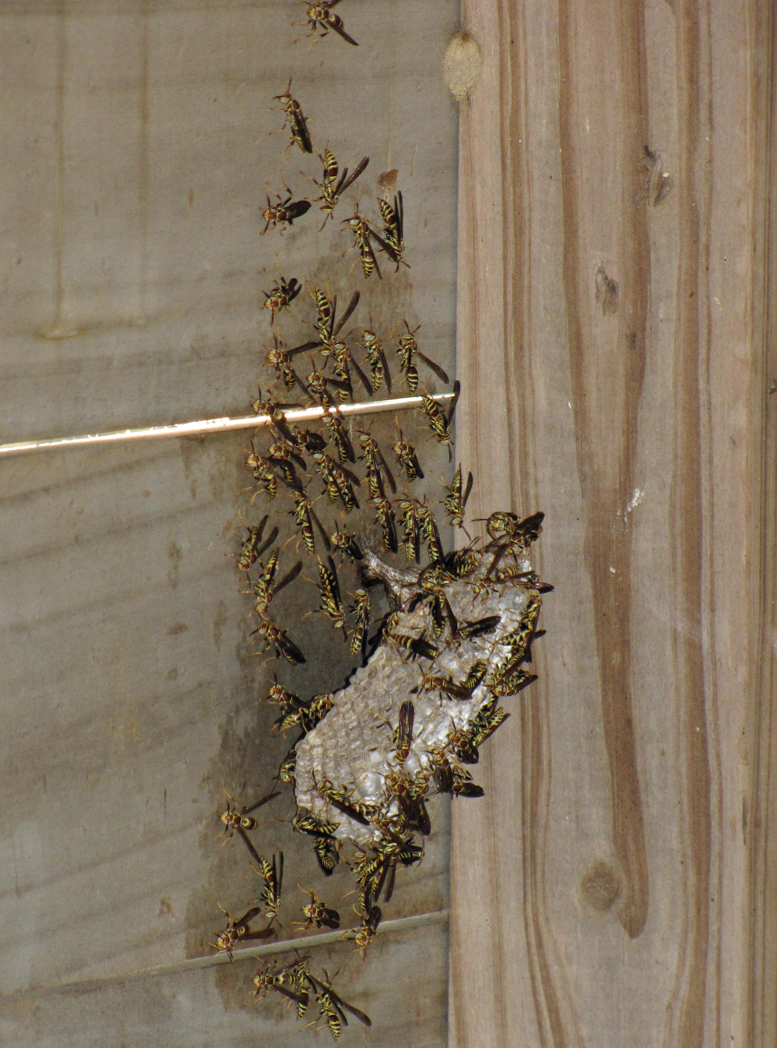 Single hornet nest