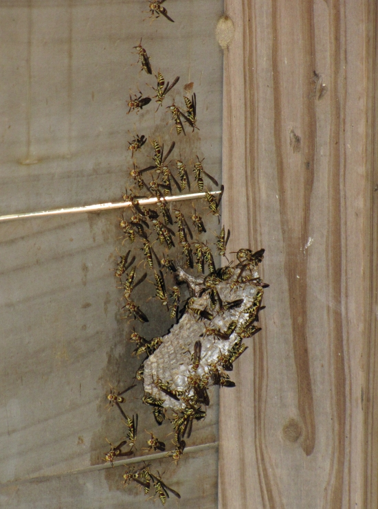 Wasp Nest in Garden Shed (I worked around and very close to this large nest in the shed all summer and never had a single problem with the wasps.  And these wasps ate a LOT of caterpillars!)