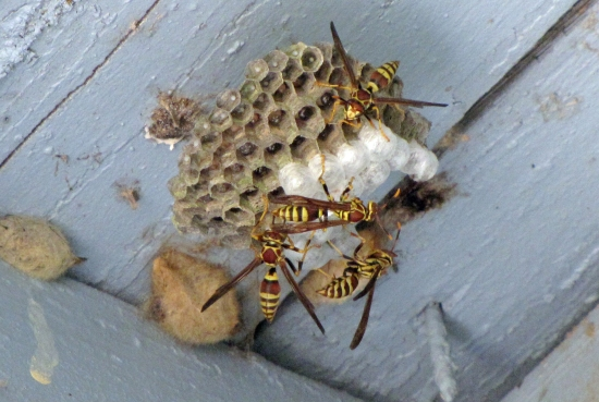 Yellow Jackets Working on Nest