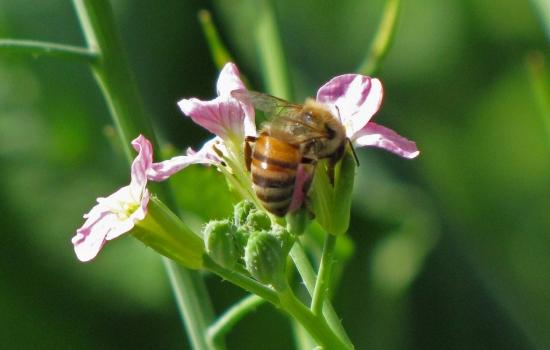 Radish, Bee Drinking