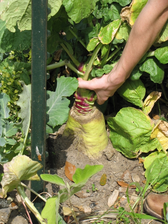 Pull this 15 lb radish, feed it to the chickens, and plant a tomato in its place.  Notice the T-post for the tomato trellis is already in the ground.  We put the posts in when we plant the winter garden, so it is easier to transition it to a summer garden later on.