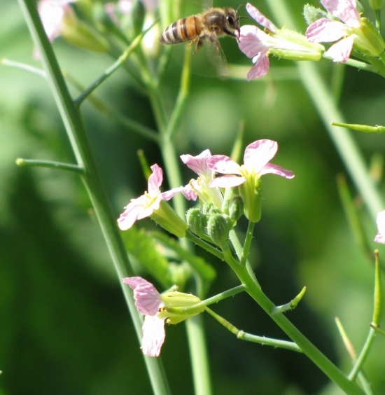 Radish with Bee Above