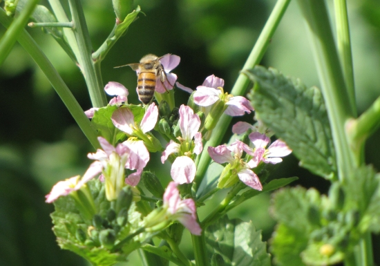 Radish with bee buzzing