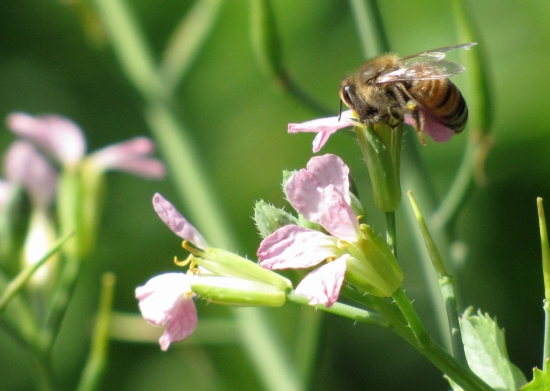 Radish with Bee Pollinating