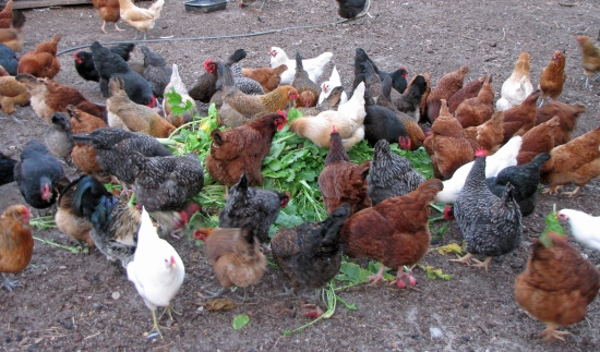 Laying Hens Enjoying Radishes