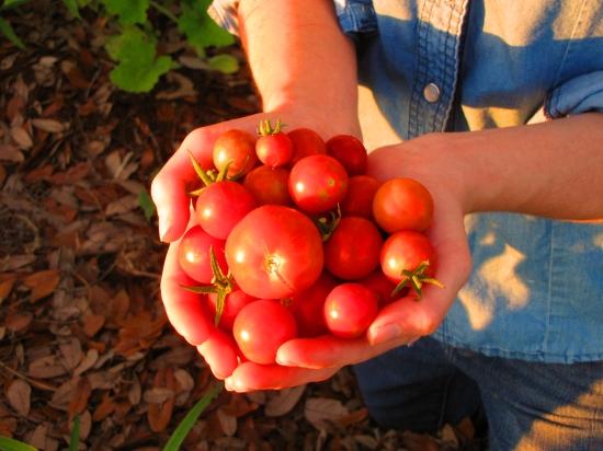 Tomato Handful