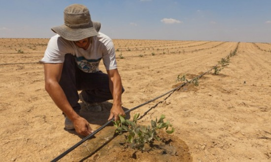Israeli Farmer Laying Drip Irrigation (courtesy israel21c.org)