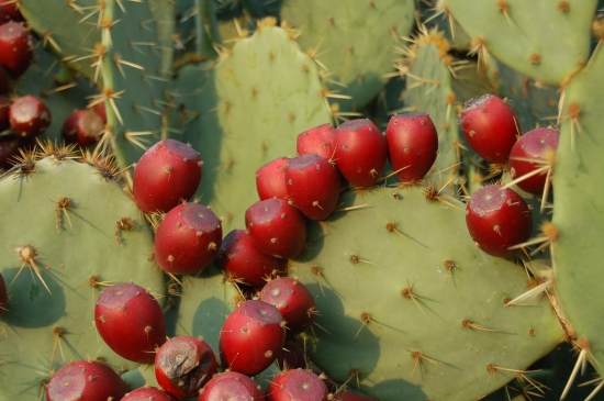 (Ripe, Red Tunas:  Prickly Pear Cactus Fruit)