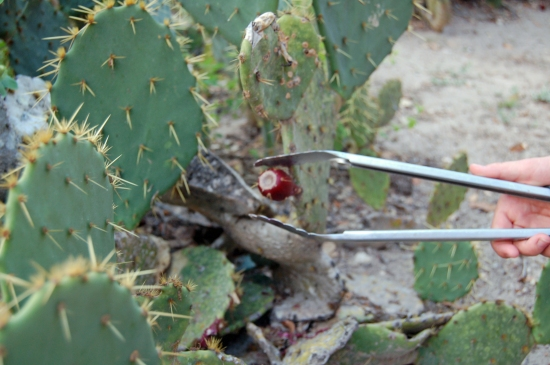 (Use Tongs to Pluck Tuna from Cactus)