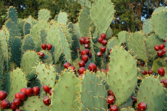 (Prickly Pear Cactus:  A Good Tuna Stand)