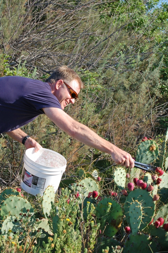 It helps to have a good reach to get the tunas in the center of the cactus stand