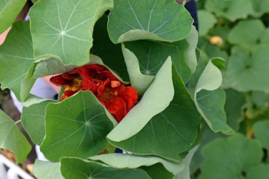 Nasturtium Bouquets