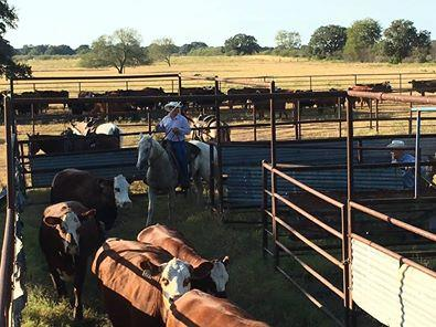 Palo Verde Cattle Co Loading them Up!